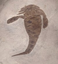 Top Quality Eurypterid with Fabulous Ventral Detail