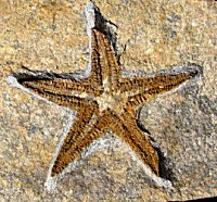 Beautiful, Huge True Starfish - Fabulous Color and Detail