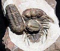 Screamin' Rare Trilobite Multiple - Cyphaspides