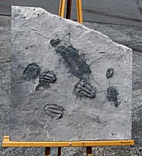 Huge Multiple Plate of Ordovician Trilobites - Four Types!
