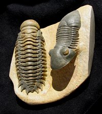Top Quality Trilobite Pair - Cheirurus and Paralejurus